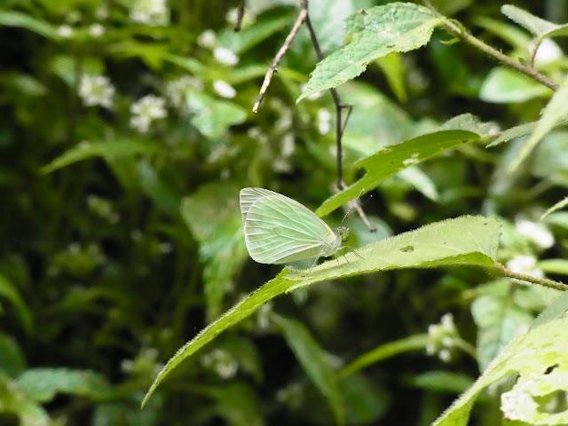 Glutophrissa drusilla tenuis (Lamas, 1981). Santa María en Boyacá, 1200 m (Boyacá, Colombie), 16 novembre 2015. Photo : J. Michel