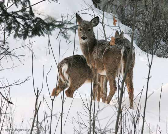 White-tailed Deer (by Karl Egressy)
