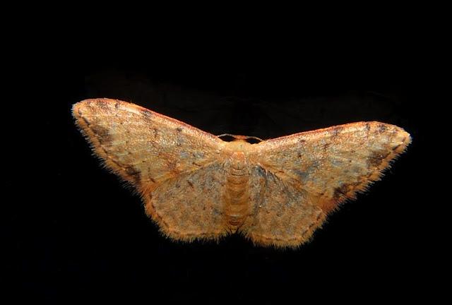 Geometridae : Sterrhinae : Idaea halmaea MEYRICK, 1888. Umina Beach (NSW, Australie), 25 septembre 2011. Photo : Barbara Kedzierski