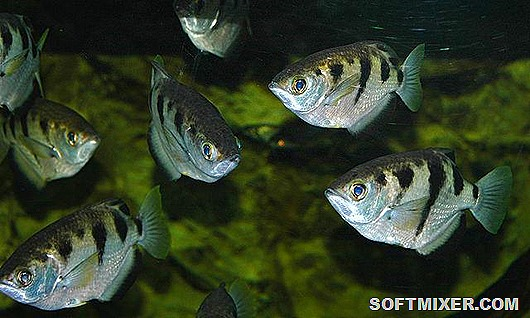 archerfish-care
