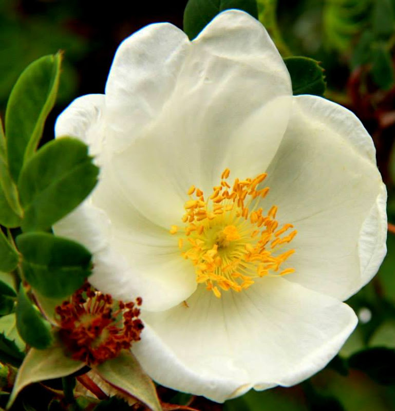 These musk roses can be found abundantly growing all the to and around the valley of flowers