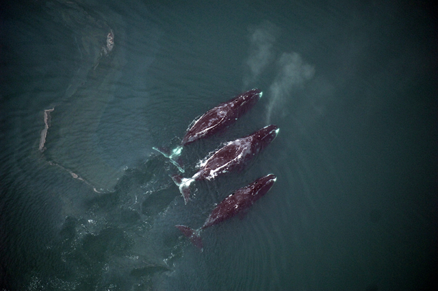 Bowhead whales rise to the surface while feeding. Among Alaska's marine mammals, bowheads are the most vulnerable to increased shipping traffic in the Arctic, a new study concludes. Photo: Cynthia Christman / National Marine Fisheries Service