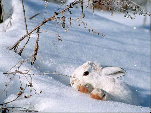 Snowshoe_Rabbit.jpg