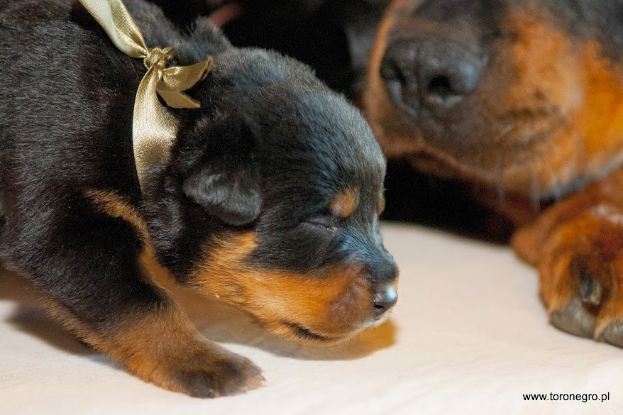 Ładny szczeniak rottweiler