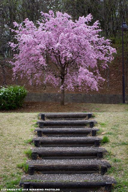 宇津貫公園の桜