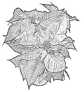 Poinsettia Sketch