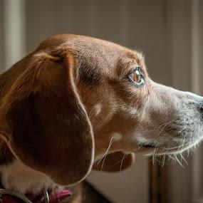 Window Watcher by Lorella Johnson - Animals - Dogs Portraits ( window, watch, ears, beagle, dog )