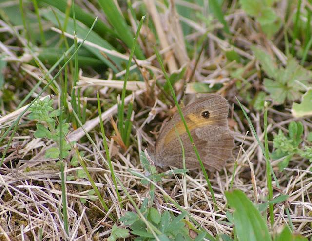 Manolia jurtina L., 1758, mâle. Les Hautes-Lisières (Rouvres, 28), 21 septembre 2011. Photo : J.-M. Gayman