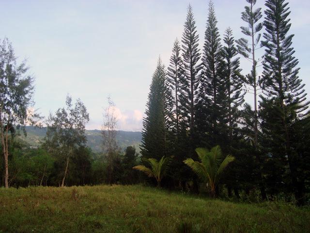 pine tree philippines