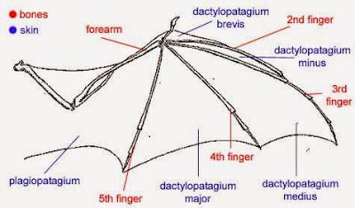 bat%2Bwing.jpg