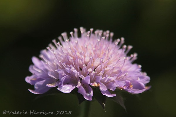 scabia