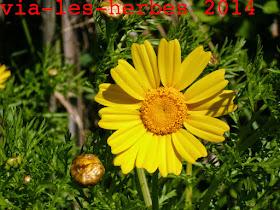 Chrysanteme couronne, Glebionis couronne 2.jpg