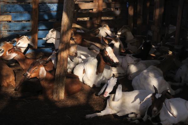 Goats 001