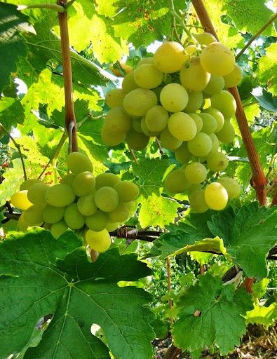 Сорта винограда 2