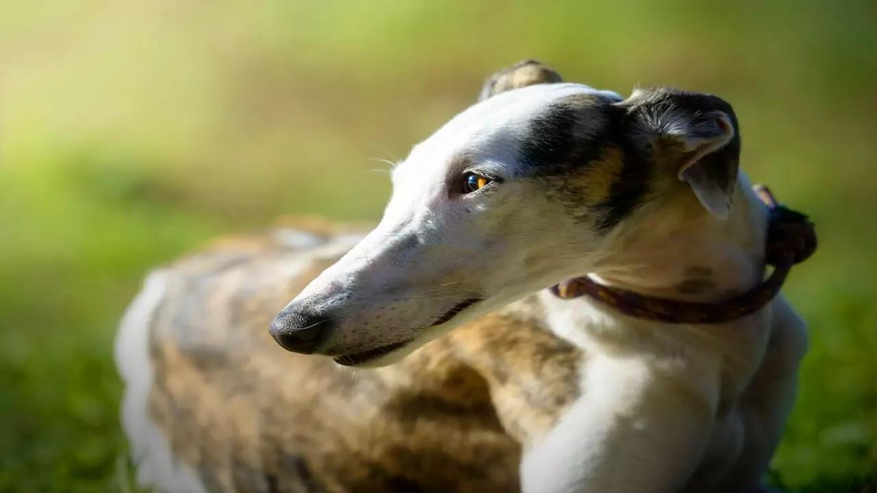 Greyhound : les bases, santé, alimentation, prix et Formation