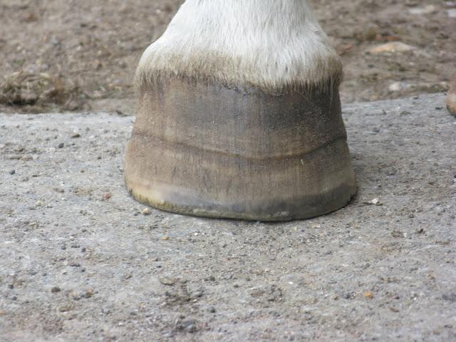 Besoin d'avis et conseils sur les pieds de mon cheval IMG_2117