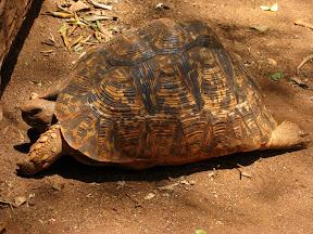 Turtle walking at Giraffe Centre in Nairobi