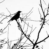 robin-and-berries_MG_2101-copy.jpg