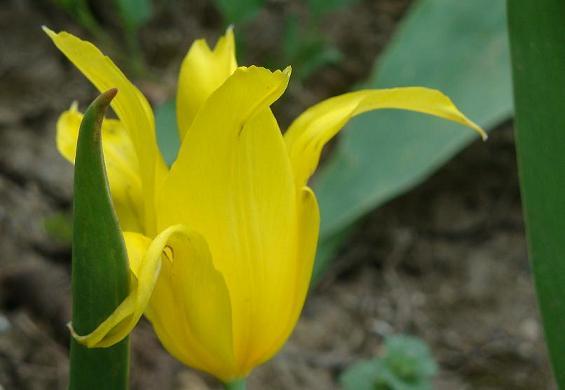 забавный тюльпан