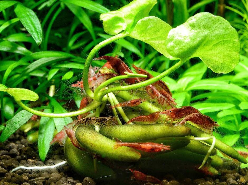 Болотноцветник водный (Водяной банан) (Nymphoides aquatica)