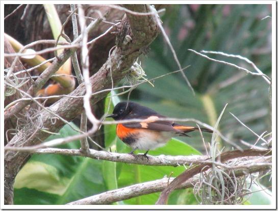 2017-05-05 Florida, Stuart - American Redstart Bird (23)