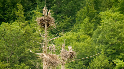 Great Blue Heron chicks near Manchester, Vermont.