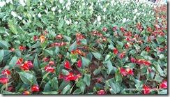Hanoi. Flores al borde del lago Lago Hoan Kiem.