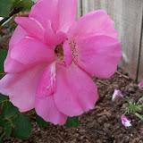 Gardening 2010 - 101_0963.JPG