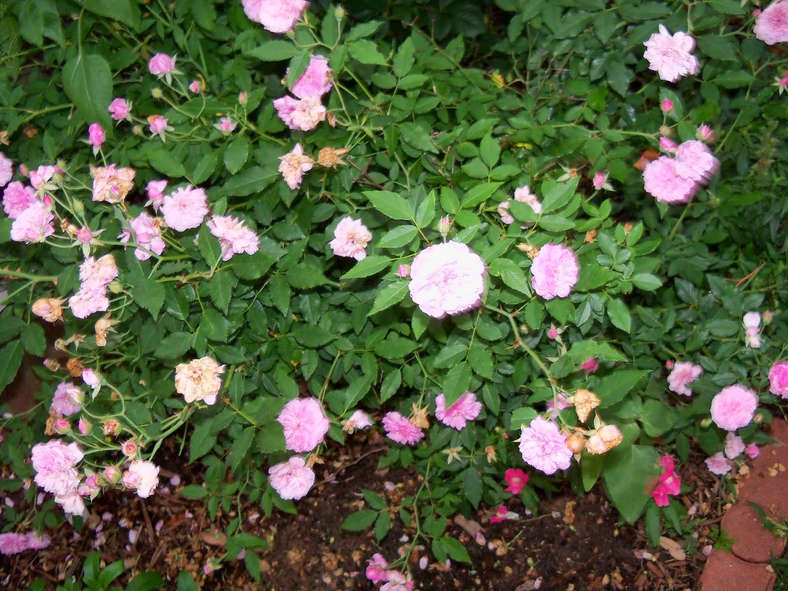 Gardening 2014 - 116_1978.JPG