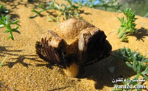 المشروم فطر عش الغراب ومعلومات غنيه بالبروتين