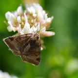 Noctuidae : Catocalinae : Euclidia glyphica (Linnaeus, 1758). Les Hautes-Lisières (Rouvres, 28), 11 juin 2015. Photo : J.-M. Gayman
