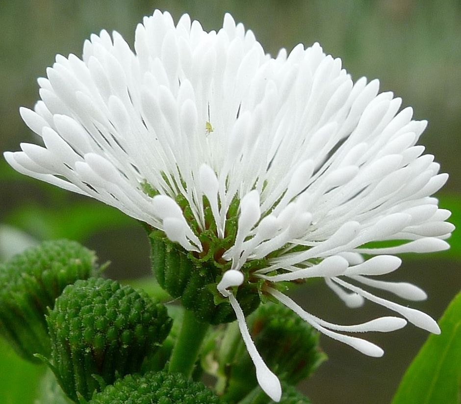 Гимнокоронис спилантовидный (Гигрофила фальшивая) (Gymnocoronis spilanthoides)
