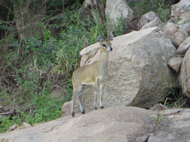 klipspringer op een rots, Kruger Park - Zuid Afrika