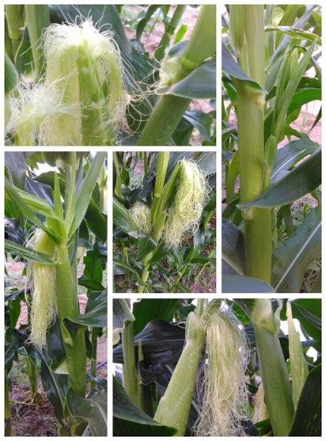 Cara hasilkan jagung gred A dengan tanam sendiri.