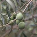 European olive