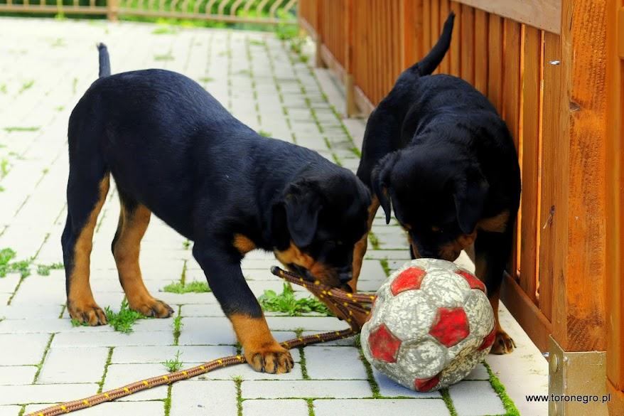 Rottweiler szczenięta
