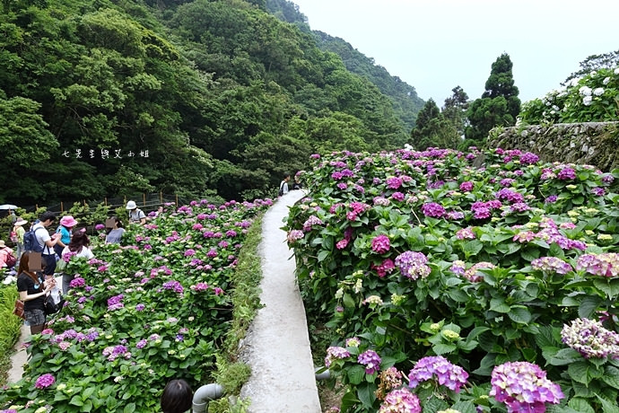 11 陽明山 繡球花 大梯田 竹子湖