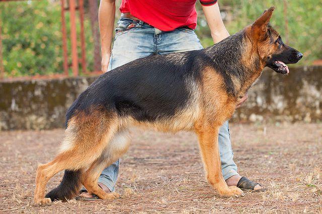 Trại chó Becgie Đức Robin Hill - Mua bán chó becgie đức thuần chủng ở TPHCM