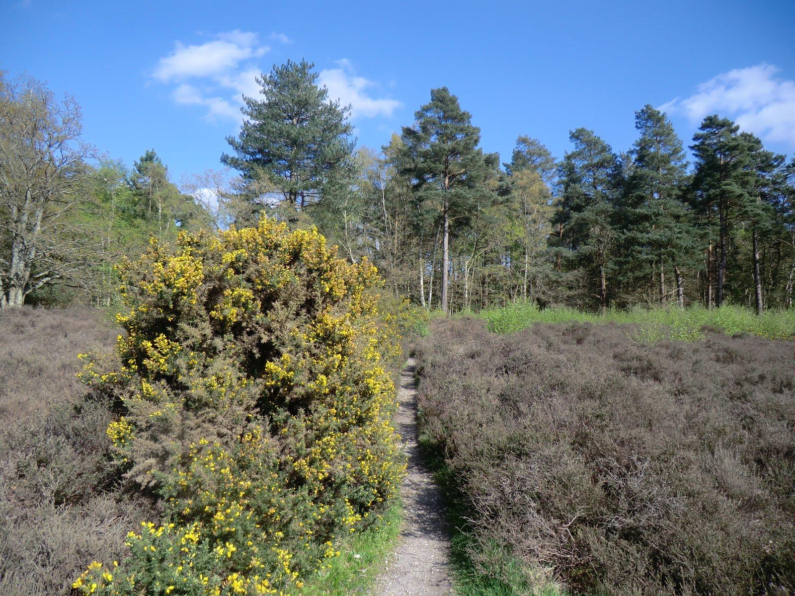 CIMG0516 Through the gorse & heather