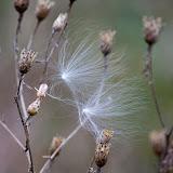 two-milkweed-fluffs_MG_2111-copy.jpg