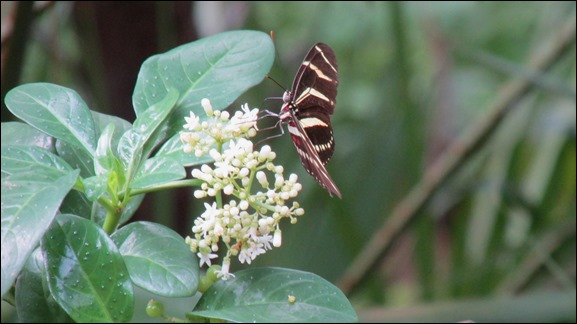 Zebra Longwing Butterfly Insect (1)