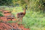 """... og denne flotte impala-han. Impalaer kan man altid kende ved at der """"står 111"""" i bagen af dem."""