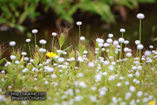 Small White Flowers at Kas Plateau