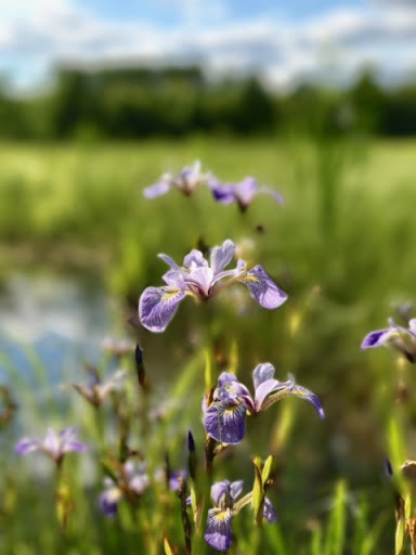 Wild Iris near slough on Mother North Star