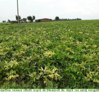 फसलों में दिख रहा है पीला मोजेक रोग किसानो के चहरे पर छाई मायूसी