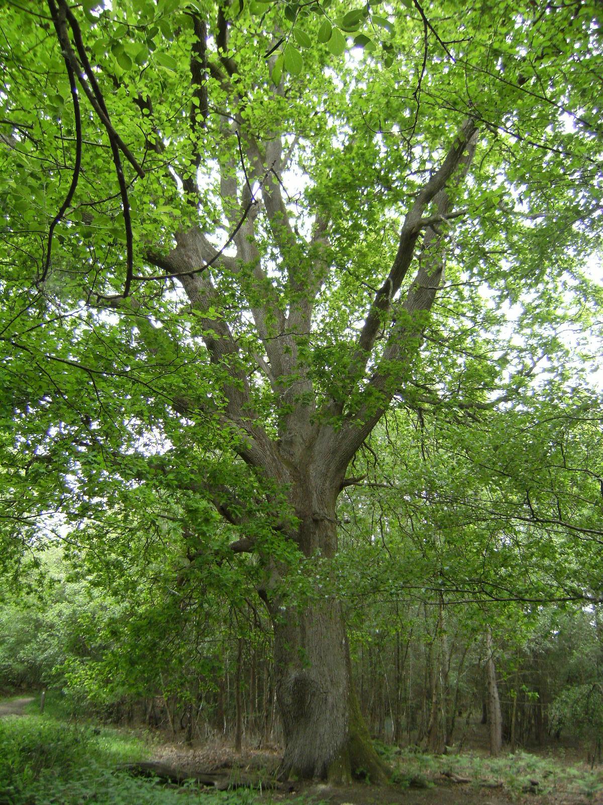 DSCF7972 Veteran oak, Broadwater Warren