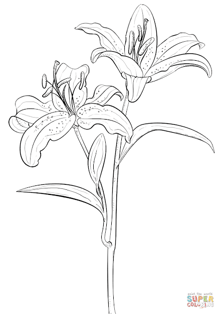 Click The Tiger Lily Coloring Pages To View Printable Version Or Color It  Online Patible With Ipad And Android Tablets