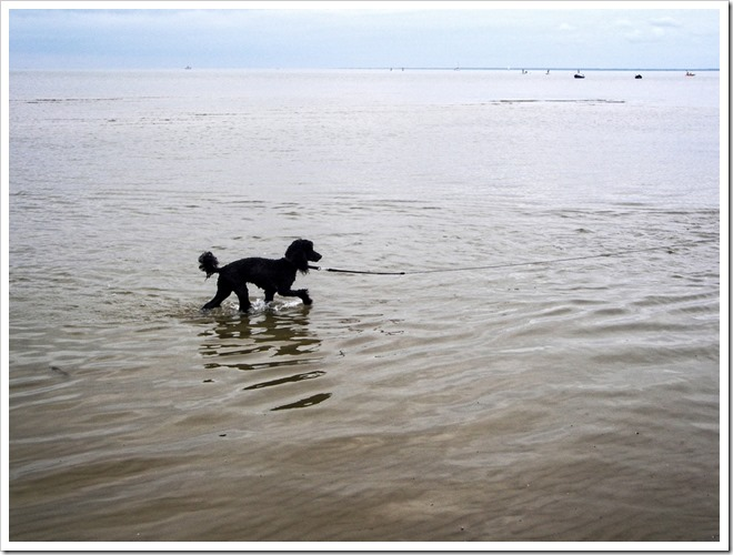 poodle dog walking in water at parnu beach estonia photo by sue wellington