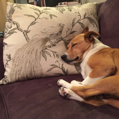 dog using pillow