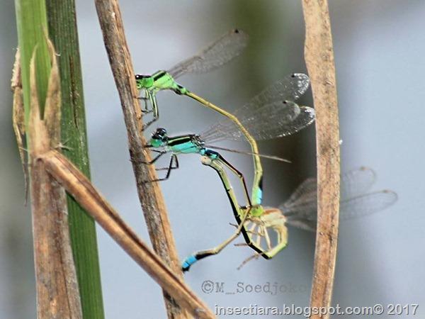 Ischnura senegalensis 6